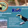 Chestnut-mandibled toucan-001