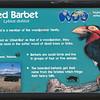 Bearded barbet-001
