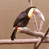 Chestnut-mandibled toucan-002