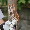 Eastern screech owl - red phase-002