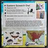 Eastern screech owl-001