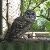 Barred owl-201