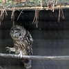 Barred owl-203
