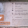 Barred owl-001
