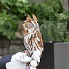 Eastern screech owl - red phase-003