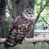 Barred owl-003