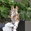 Eastern screech owl - red phase-004