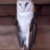 Barn owl-002