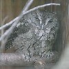 Eastern screech owl-203