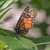 Monarch-006