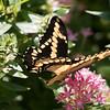 Spicebush_Swallowtail002