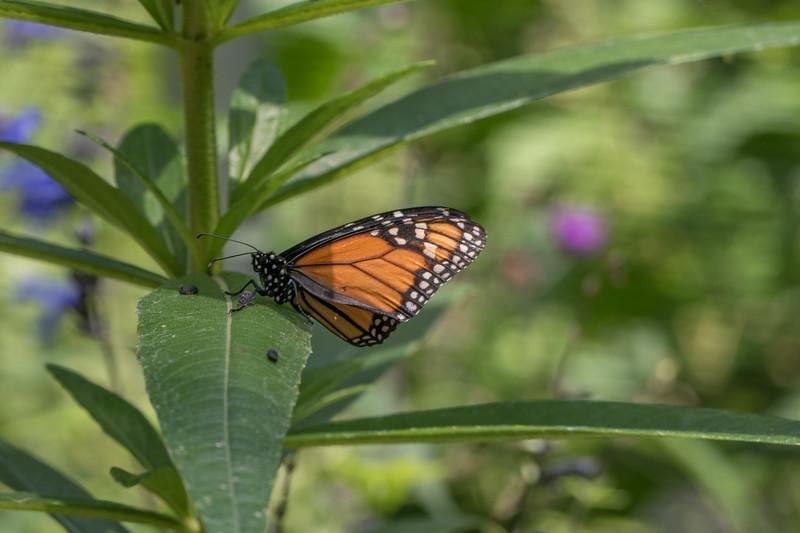 Monarch-004
