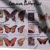 Butterflies-002