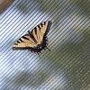 Eastern_Tiger_Swallowtail-002