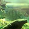 Green_sunfish-004