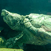 Aligator_Snapping_Turtle-012