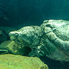 Aligator_Snapping_Turtle-014