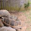Aldabra_tortoise-008