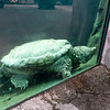 Aligator_Snapping_Turtle-034