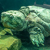 Aligator_Snapping_Turtle-016