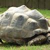Aldabra_Tortoise-014