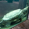 Aligator_Snapping_Turtle-036