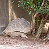 Aldabra_Tortoise-004
