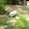 Aldabra_Tortoise-013