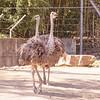 Ostrich-001