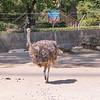 Ostrich-006
