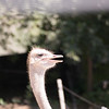 Ostrich-004
