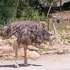 Ostrich-003
