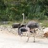 Ostrich-005
