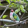 Jambu fruit dove-007