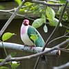 Jambu fruit dove-006