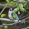 Jambu fruit dove-008