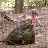 Eastern wild turkey-003