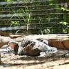 Eastern wild turkey-203