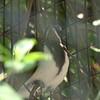 Blue-faced honeyeater-203