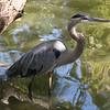 Great blue heron-006