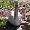 American white pelican-003
