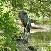 Great blue heron-203