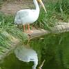 American white pelican-013