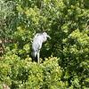 Great blue heron-002