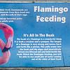 Caribbean flamingo-101
