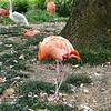 Caribbean flamingo-201