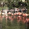 Caribbean flamingo-003