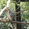 Red billed hornbill-009
