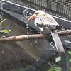 Red billed hornbill-004
