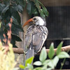Red billed hornbill-008